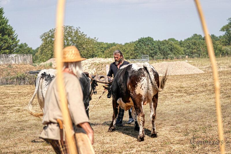 Reconstitution historique d'une moisson au vallus dans le village Gaulois de Saint Saturnin du Bois (5)