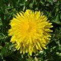 2008 04 16 Une fleur de Pissenlit