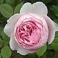 Rose_Marie_Antoinette_1