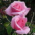 Les roses vont par deux sur la branche qui ploie