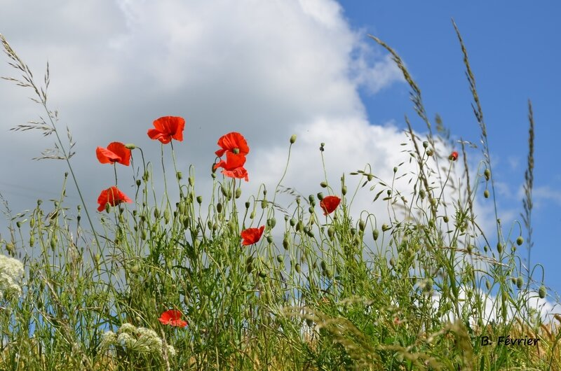Coquelicots - Wildflower