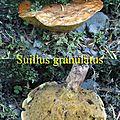 Suillus granulatus