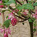 Groseillier fleurs mars 2013