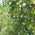 Petites roses en cascade ...