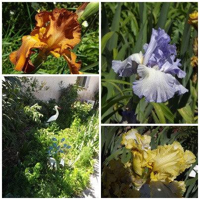 Iris du B 1 (8)