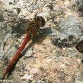 Sympétrum rouge sang • Sympetrum sanguineum • Libellulidae