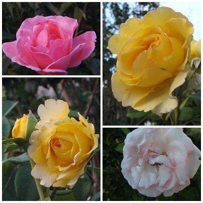 Fleurs du jardin (13)