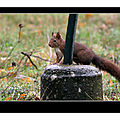 Ecureuil roux - bédarieux (hérault 34)