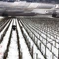 Vignoble d'hiver