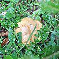 Boletus appendiculatus (3)