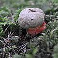 Boletus calopus (2)