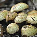 Pholiota squarrosa (3)