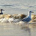 Goéland argenté sur les côtes normandes