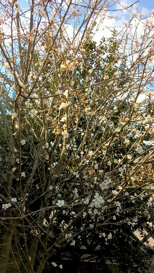 pruniers en fleurs mars 2018