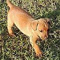 chienne squelettique 4 et ses chiots abandonnés dans le Sud Grande Terre