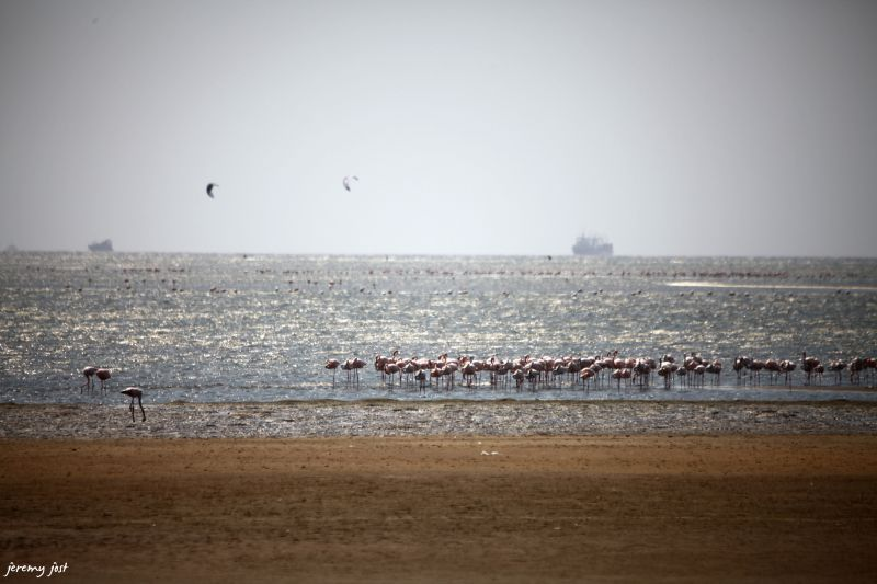 colonie flamants roses