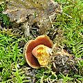 Boletus erythropus (8)
