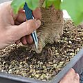 Amélioration du nébari d'un érable champêtre