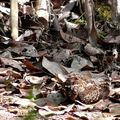 Caprimulgus nigrescens : Engoulevent noirâtre